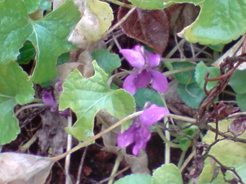 Les violettes P1101110