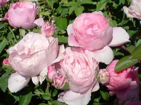 La bouture des rosiers. Roseir10
