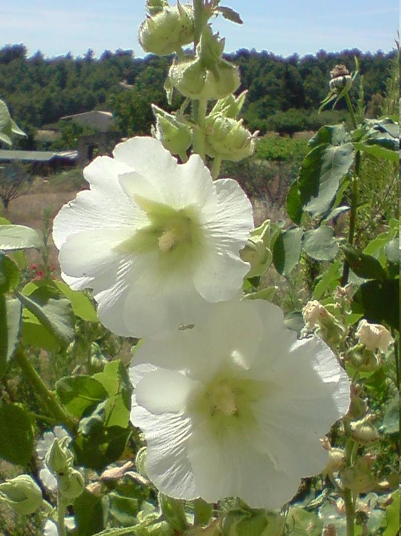 Graines de roses trémières Roses_10
