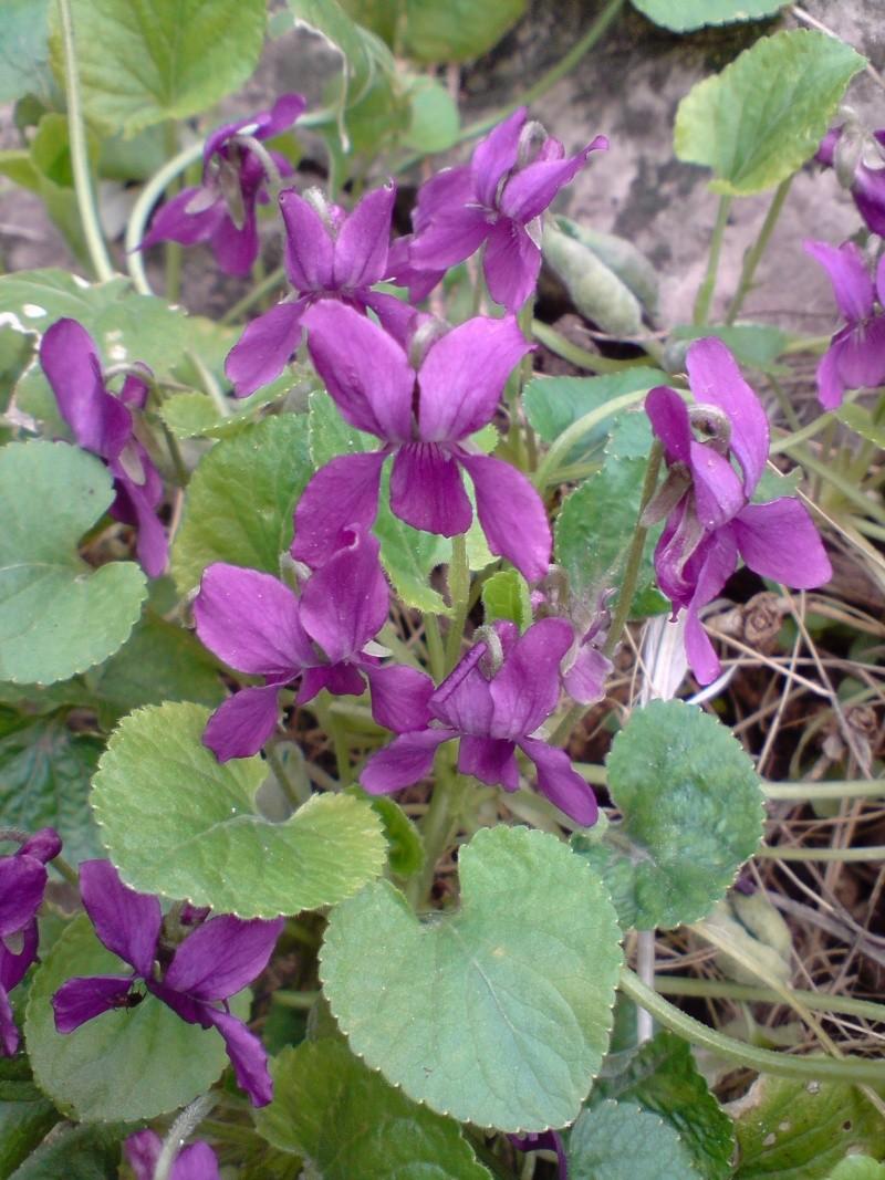 Les violettes - Page 2 Violet11