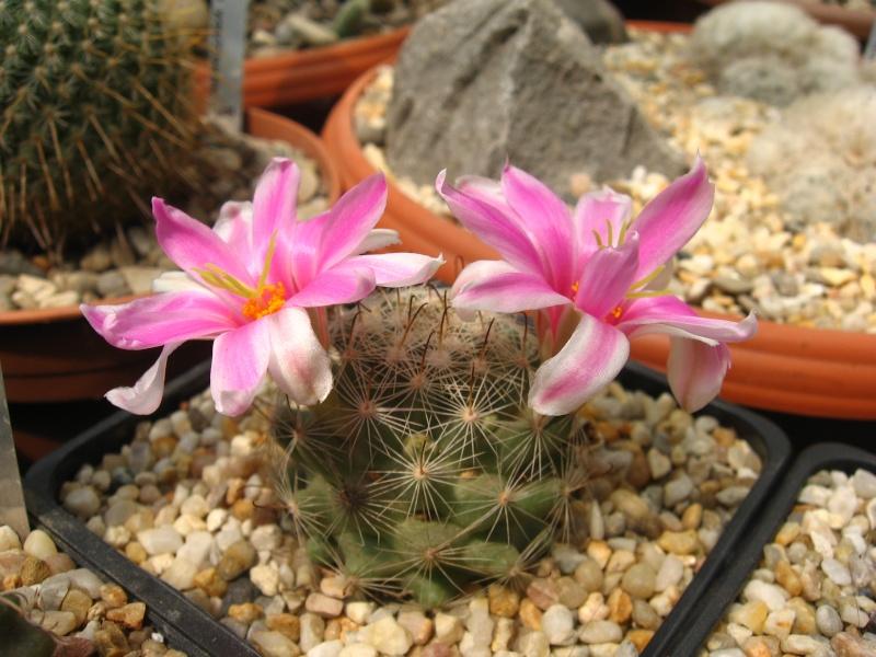 Mammillaria boolii (Syn: Bartschella boolii, Chilita boolii) Img_0010