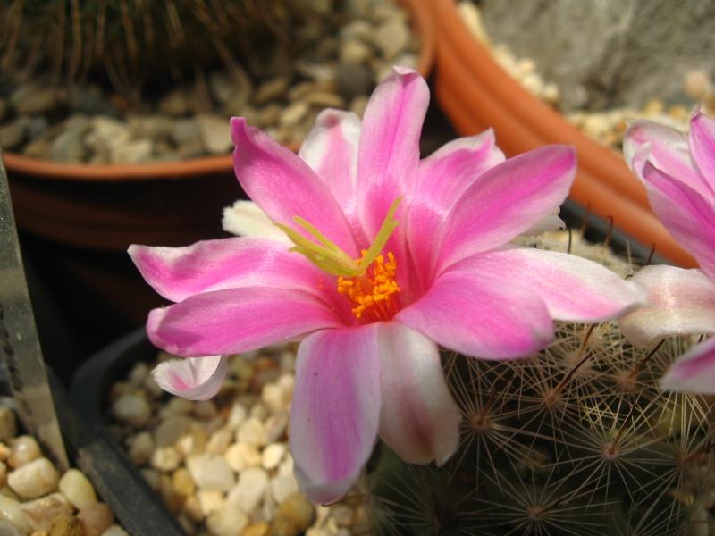 Mammillaria boolii (Syn: Bartschella boolii, Chilita boolii) Img_0012
