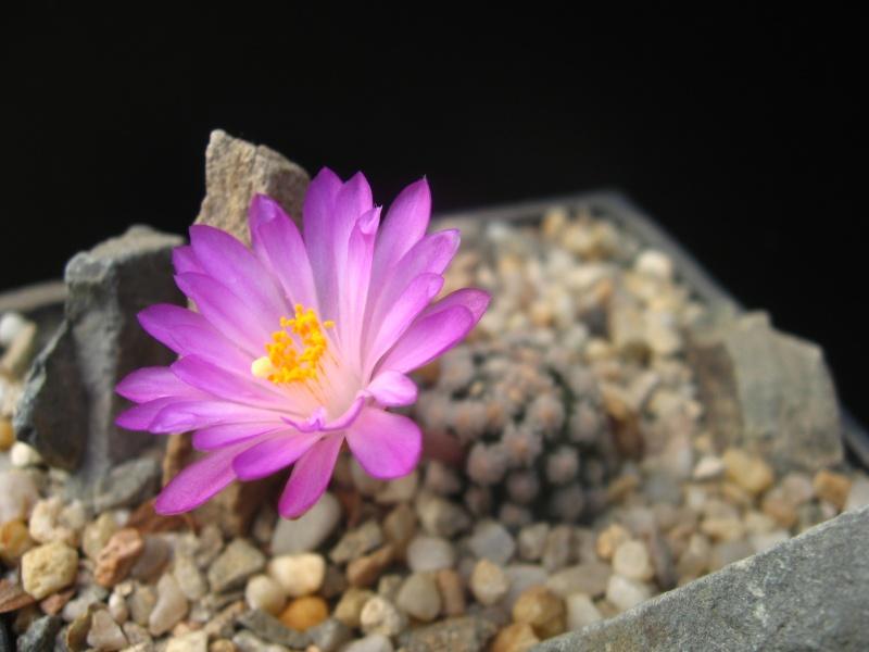 Mammillaria theresae (Syn: Mammillaria saboae var. theresae) Img_0015