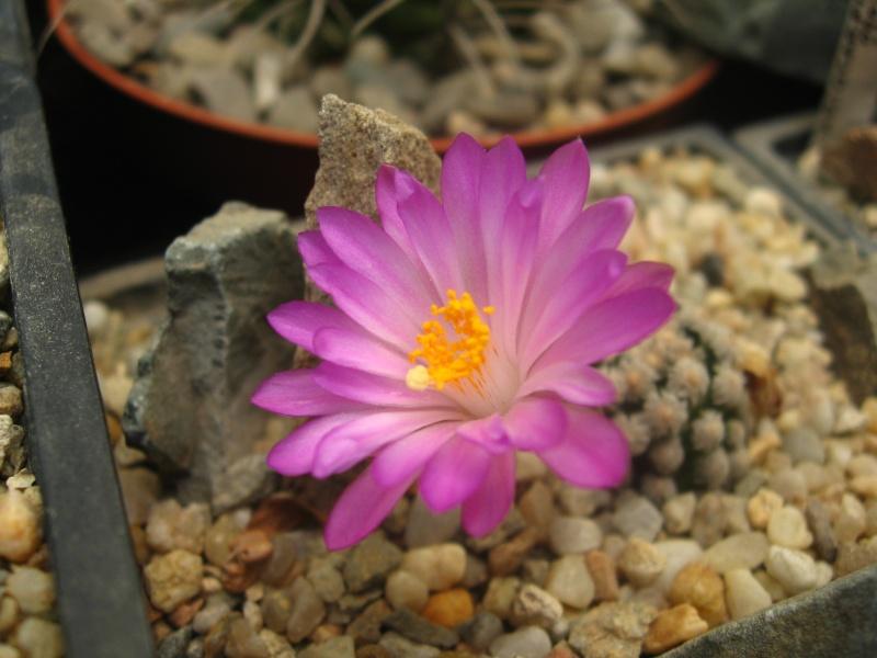 Mammillaria theresae (Syn: Mammillaria saboae var. theresae) Img_0016