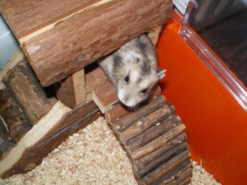 apprivoiser mon hamster russe Imgp0310