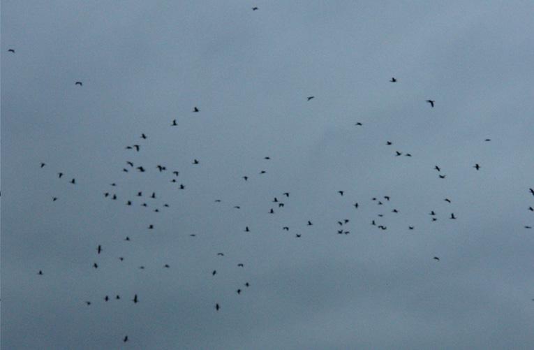 retour des cormorans - Page 3 Cormor10