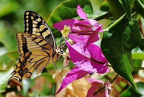 fil(et) à papillons - Page 18 012_5010