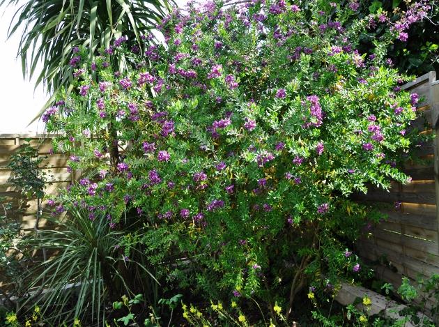 Polygala myrtifolia 068_6311