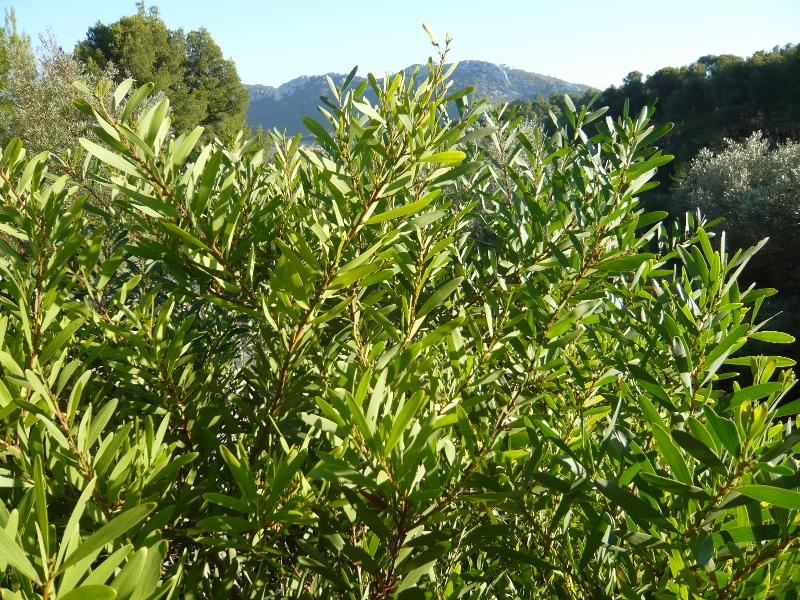 Phillyrea angustifolia - filaire à feuilles étroites Alater10