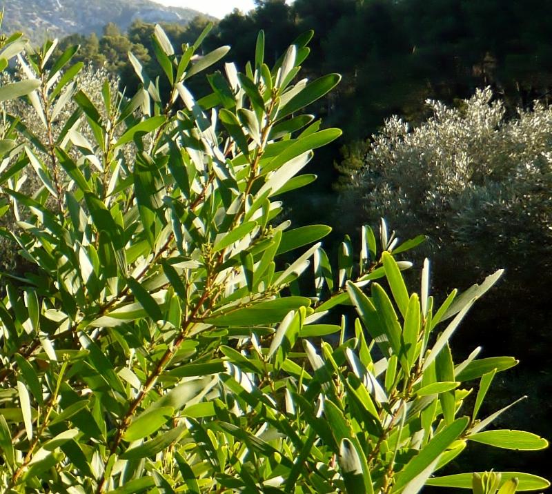Phillyrea angustifolia - filaire à feuilles étroites Alater11