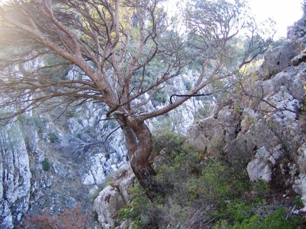 Pinus halepensis - pin d'Alep Arbres10