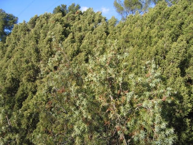 Juniperus phoenicea - genévrier de Phénicie Arbres12