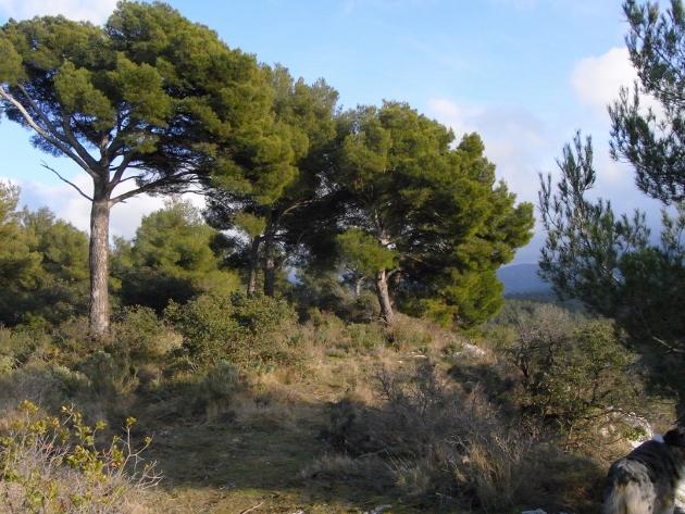Pinus halepensis - pin d'Alep Baou-r10
