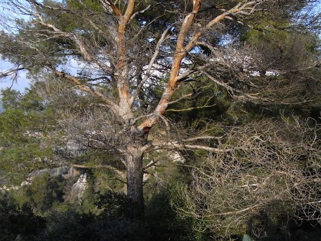 Pinus halepensis - pin d'Alep Baou-r11