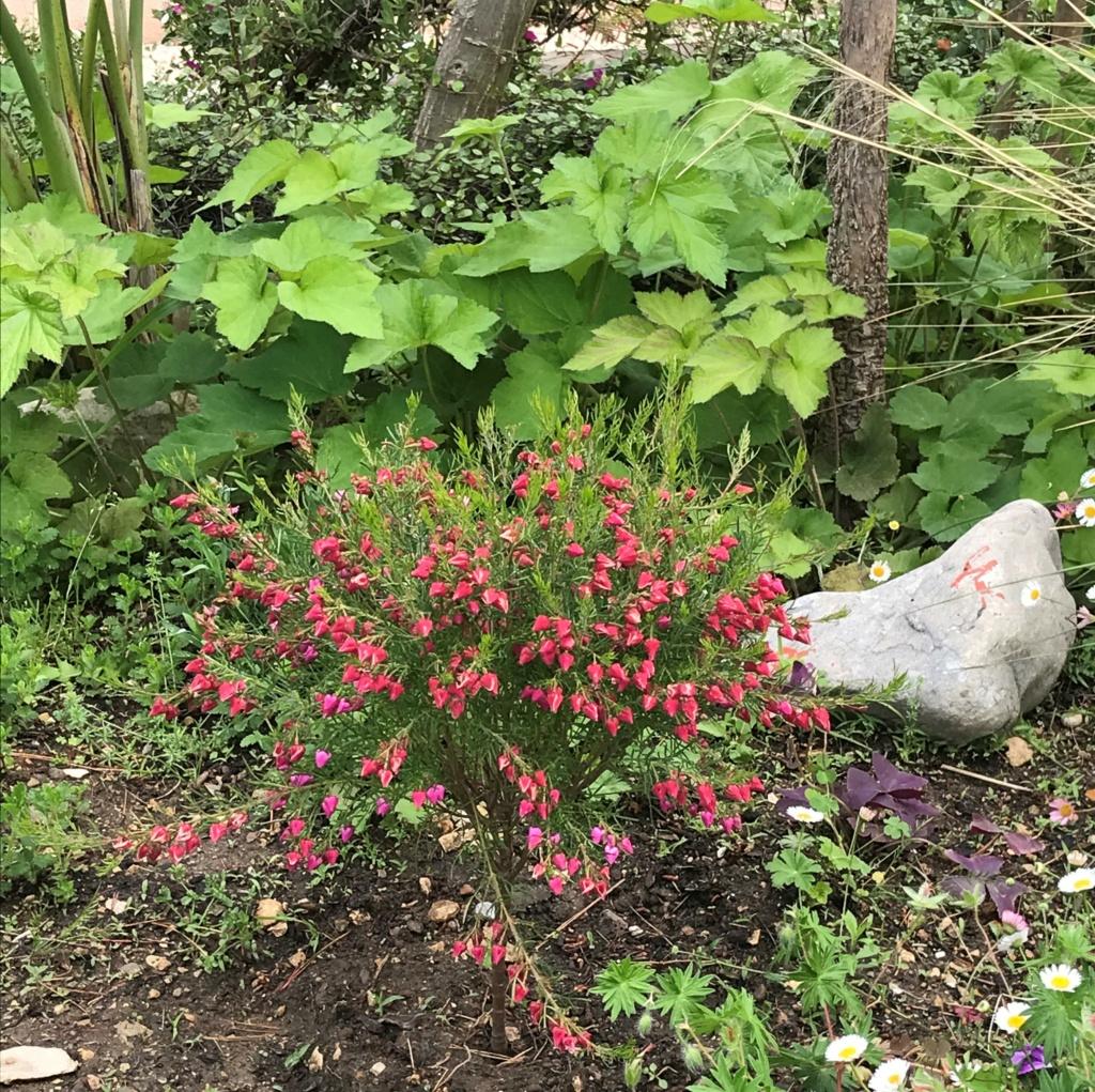 Boronia heterophylla - Devinette d'une plante dont on n'a jamais parlé ici Boroni13