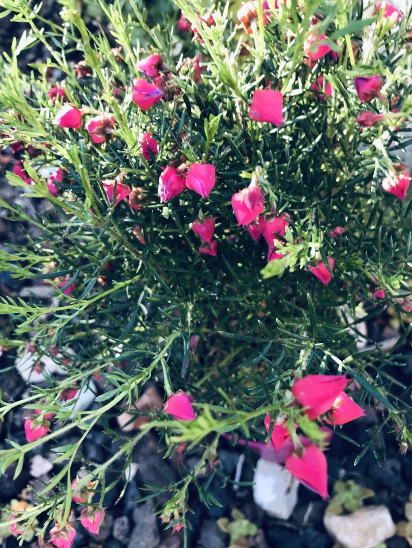 Boronia heterophylla - Devinette d'une plante dont on n'a jamais parlé ici Boroni14