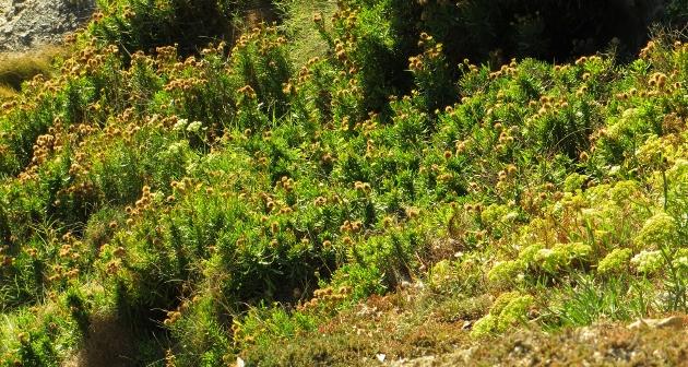 Limbarda crithmoides - inule fausse criste  Bretag15