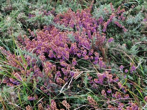 Calluna vulgaris - callune Bretag17