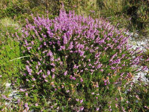 Calluna vulgaris - callune Bretag20