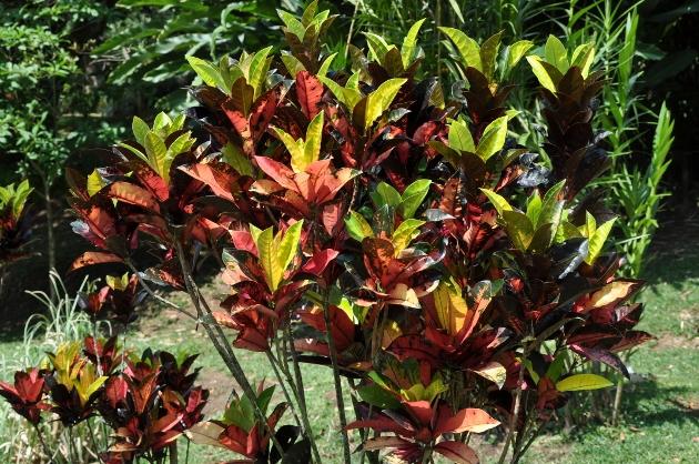 Codiaeum variegatum - croton Costa_14