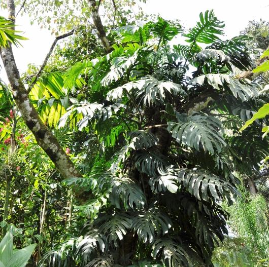 Philodendron 'Xanadu' Costa_15