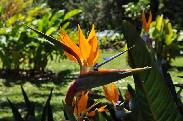 Strelitzia reginae  - Page 2 Costa_16