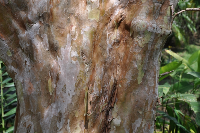 Psidium guayava - Devinette résolue : Encore un tronc Costa_27