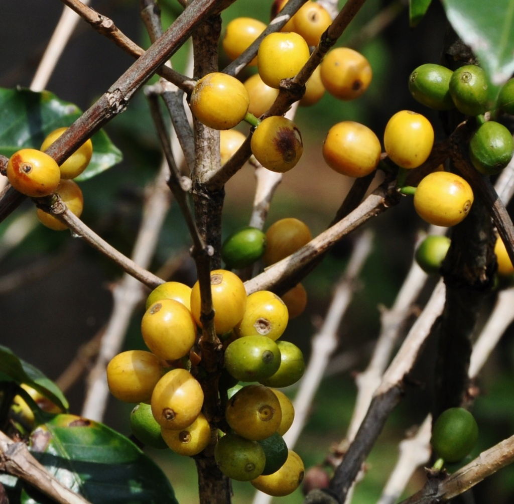 Coffea arabica - devinette fruits résolue Costa_28