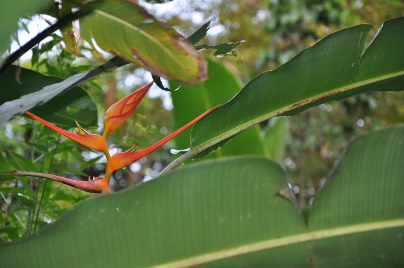Heliconia - le genre Costa_32