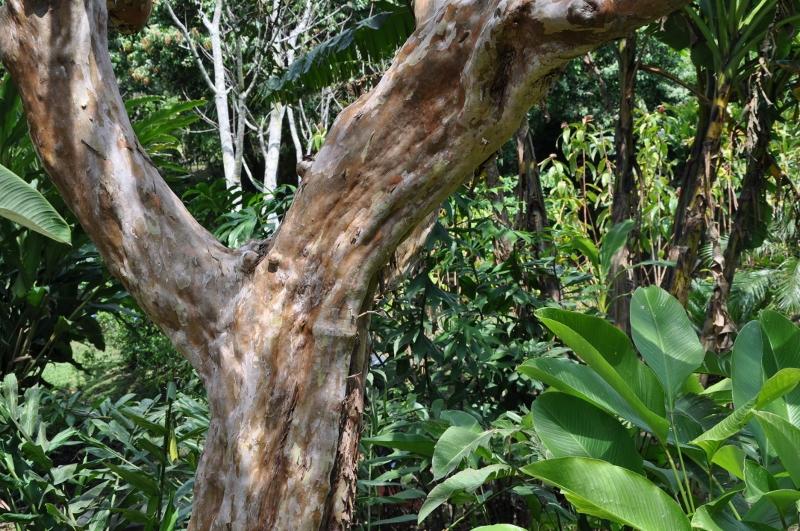 Psidium guayava - Devinette résolue : Encore un tronc Costa_38