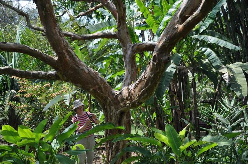 Psidium guayava - Devinette résolue : Encore un tronc Costa_39