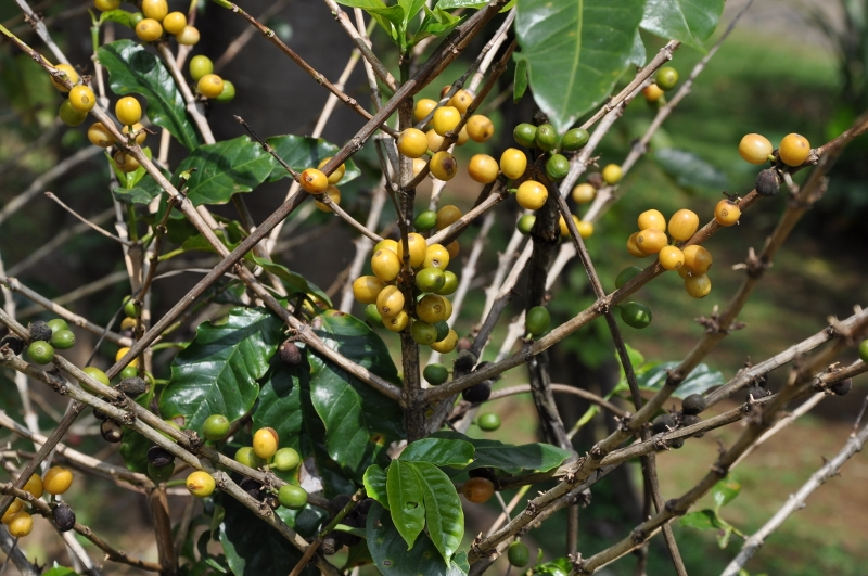 Coffea arabica - devinette fruits résolue Costa_41