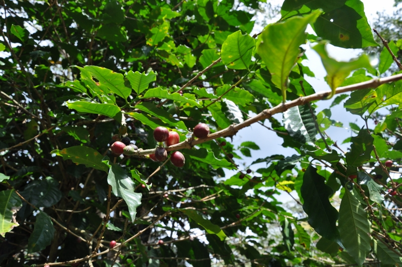 Coffea arabica - devinette fruits résolue Costa_43