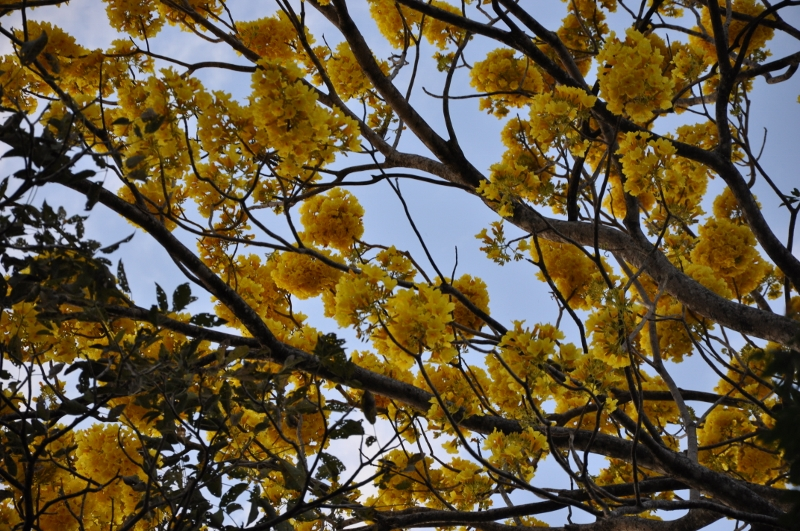Tabebuia rosea & Handroanthus chrysanthus (= Tabebuia chrysantha) Costa_54