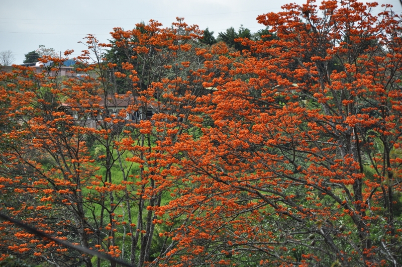 Erythrina poeppigiana Costa_70