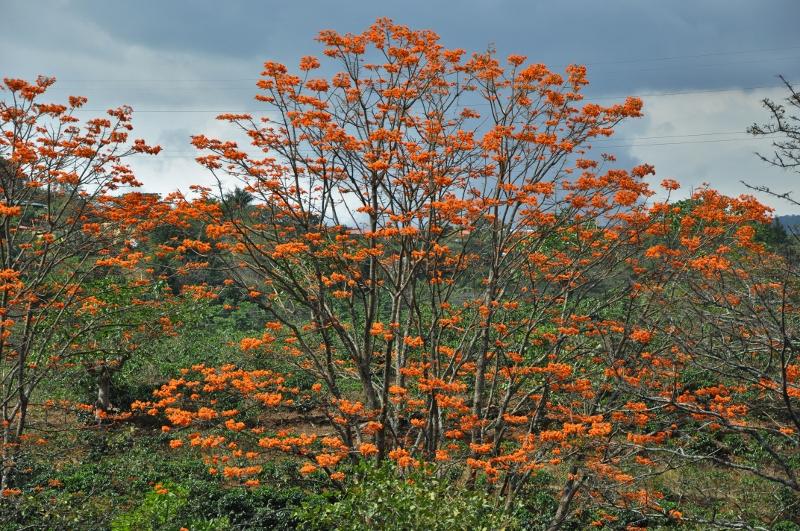 Erythrina poeppigiana Costa_75