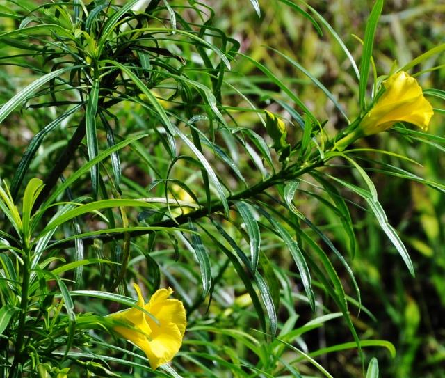 Cascabela thevetia (= Thevetia peruviana) - Page 2 Costa_87