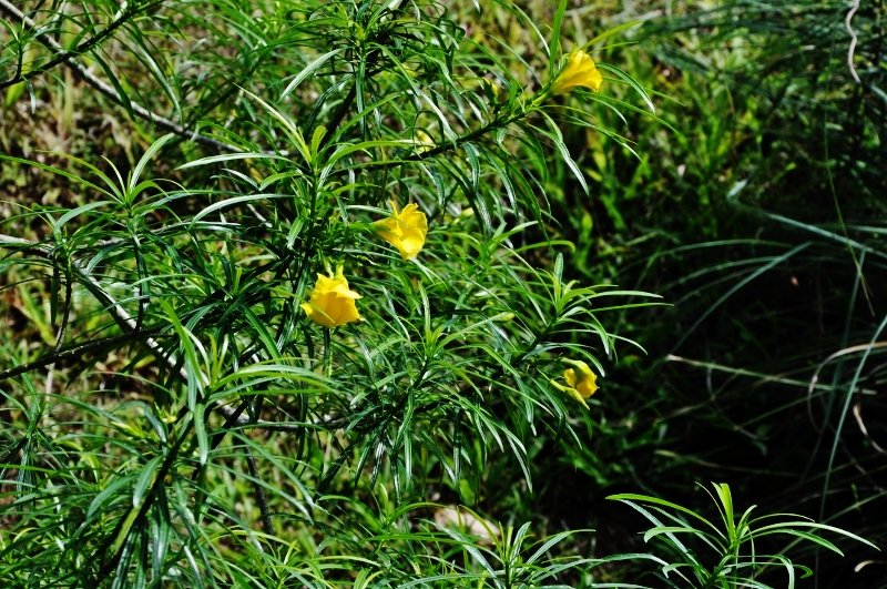 Cascabela thevetia (= Thevetia peruviana) - Page 2 Costa_88