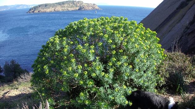 Euphorbia dendroides - euphorbe arborescente - Page 2 Dsc00111