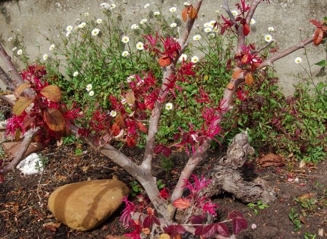 loropetalum - Loropetalum chinense - Page 4 Dsc00212