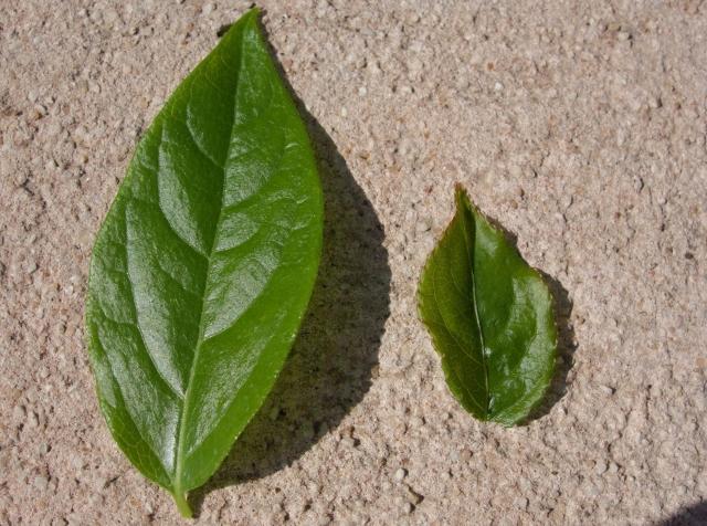 Chimonathus praecox et Staphylea pinnata - Devinette feuillage printannier trouvée - Page 2 Dsc00413