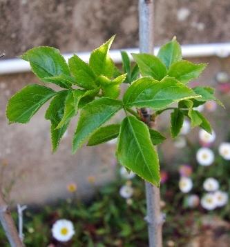 Chimonathus praecox et Staphylea pinnata - Devinette feuillage printannier trouvée - Page 2 Dsc00414