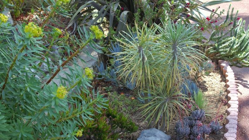 Euphorbia dendroides - euphorbe arborescente - Page 2 Dsc00422