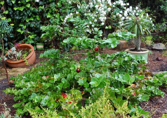 Carissa macrocarpa - prunier du Natal - Page 2 Dsc00517