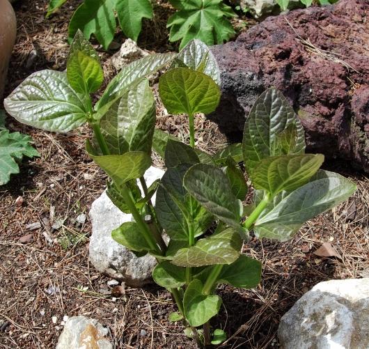Thunbergia battiscombei - Devinette d'un jour de grand vent Dsc00713