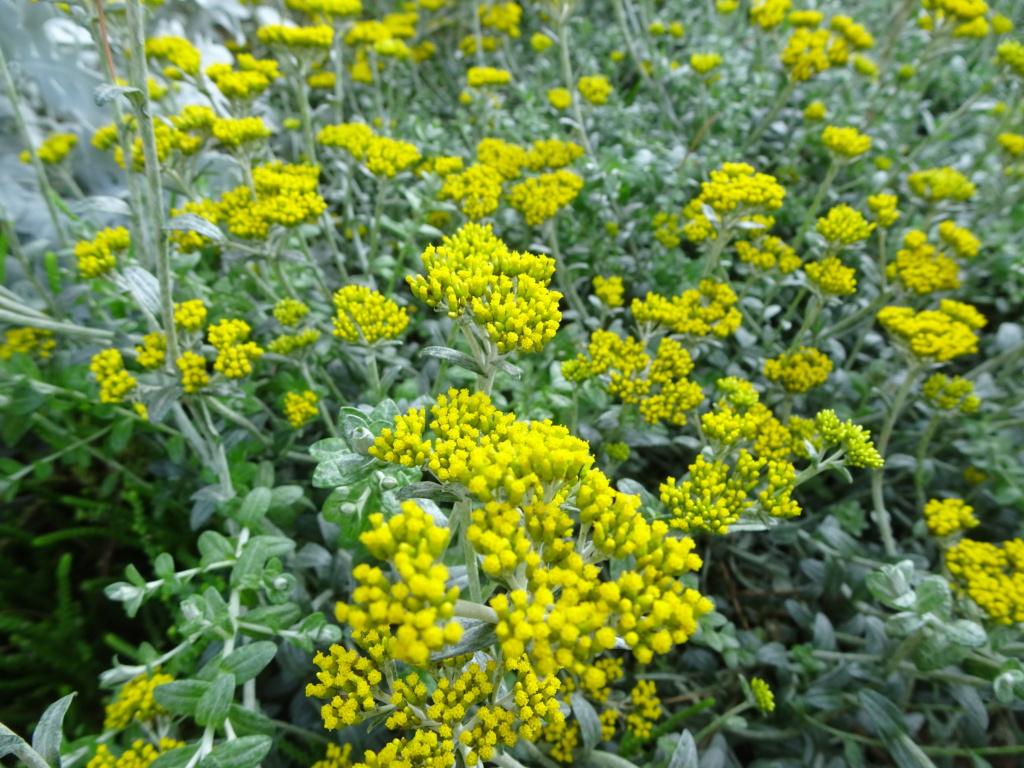 Helichrysum cymosum Dsc05351
