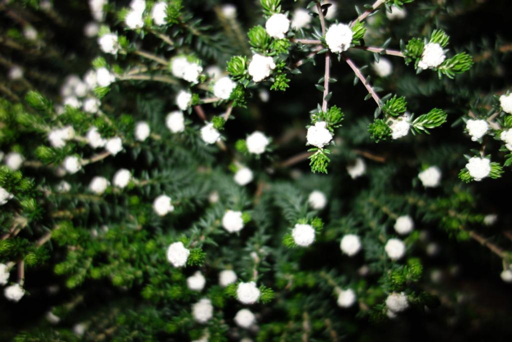 Phylica ericoides - Bruyère du Cap Dsc06650