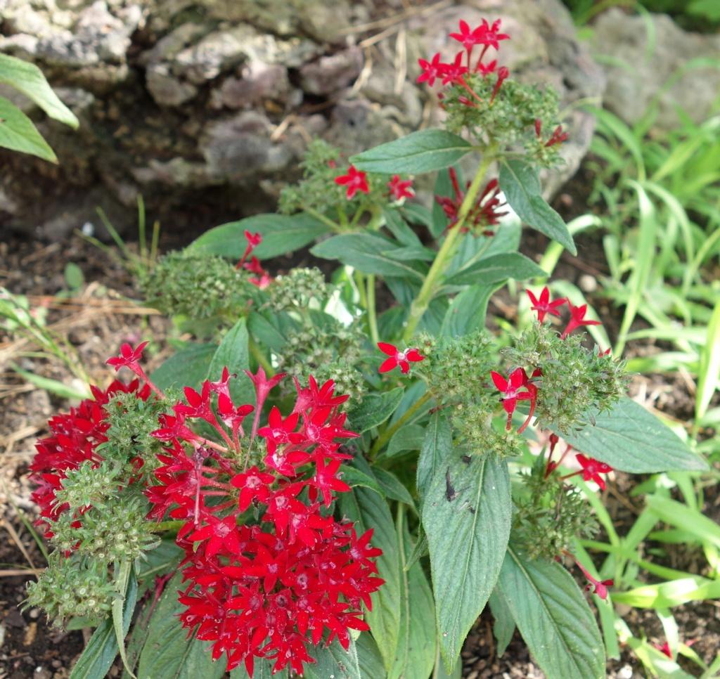 Pentas lanceolata - Identification plante aux fleurs rouges Dsc07521