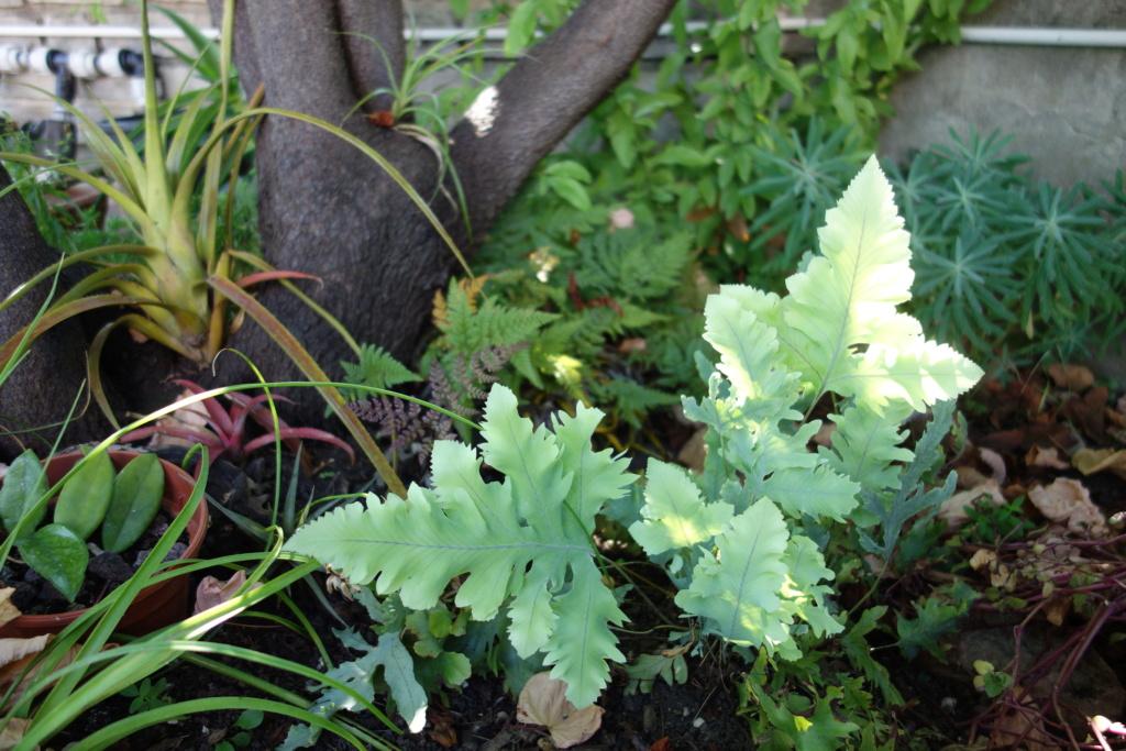 Identification plante - Phlebodium aureum Davana [Identification] Dsc07650