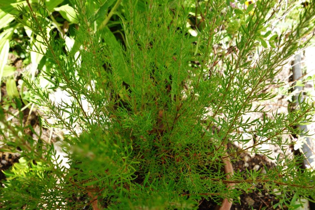 Boronia heterophylla - Devinette d'une plante dont on n'a jamais parlé ici Dsc07651